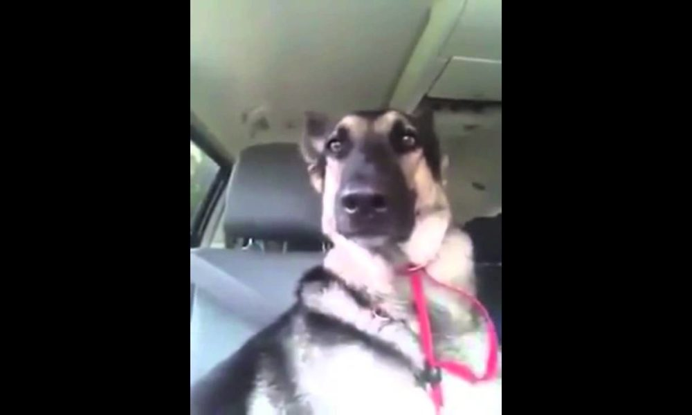 German Shepherd's favorite song plays on radio, her moves are lighting up the internet